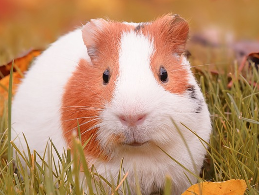 Can I Drink Hydrogen Peroxide?  Allen the Guinea Pig.